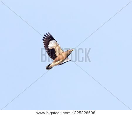 Starling in flight against blue sky . In the park in nature
