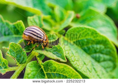 Colorado beetle eats green potato leaves. Garden insect pest. Vegetable stubs. Natural gardening background with selective focus.