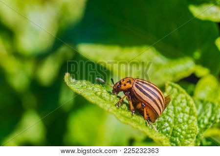 Colorado beetle eats green potato leaf. Garden insect pest. Natural green gardening background with selective focus.