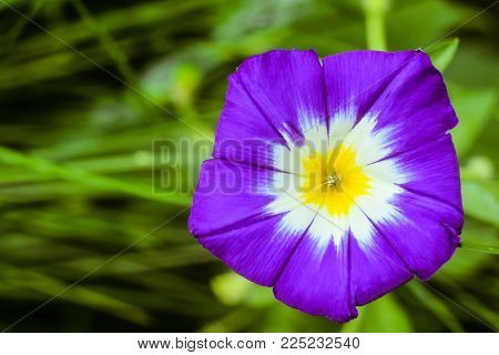Funnel-shaped purple morning glory flower close-up. Natural plant background with limited depth of field.