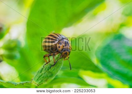 Potato beetle eats green leaf close-up. Garden insect pest. Natural green gardening background with selective focus.