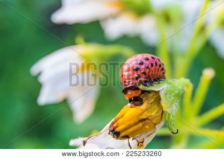 Colorado potato beetle larva eats potato flower. Garden insect pest close-up. Vegetable stub. Selective focus