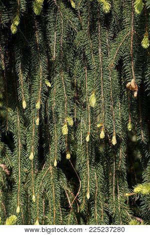 Part Of A Green Pine  Tree In View In Summer