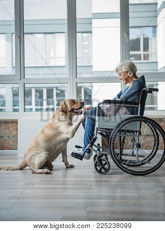 Pleased Senior Woman Looking At The Hound And Holding The Paw Of It. She Is Sitting In Wheelchair Co