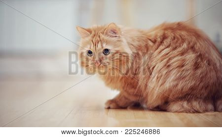 The striped red domestic cat on a floor.