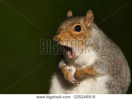 Funny portrait of Red squirrel yawning, UK.