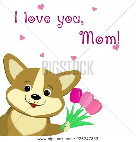 Lovely corgi puppy holds in his paws three pink tulips, congratulates with his mother's day, in the style of cartoons. Congratulations on mother's day. Vector, flat design.