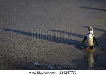 Penguin At Boulders Beach Heading To The Ocean. Popular Nature Reserve And Great Habitat Colony Of A