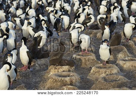 Colony Of Imperial Shag (phalacrocorax Atriceps Albiventer) With Chicks On Bleaker Island In The Fal