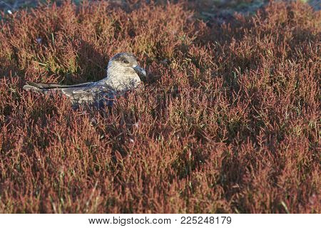 Falkland Skua (catharacta Antarctica) Sitting In A Patch Of Colourful Grasses On Bleaker Island In T