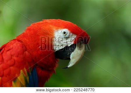 Face Of The Scarlet Macaw Is A Large Red, Yellow, And Blue South American Parrot, A Member Of A Larg