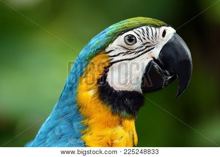 Face Of The Blue-and-gold Macaw  , Is A Large South American Parrot With Blue Top Parts And Yellow U