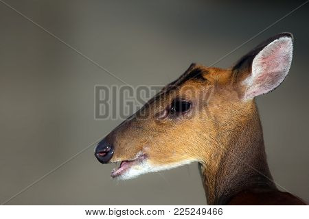 Face Of Muntjacs, Also Known As Barking Deer And Mastreani Deer, Are Small Deer Of The Genus Muntiac