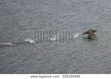 Southern Giant Petrel (macronectes Giganteus) Taking Off From The Sea Off The Coast Of Bleaker Islan