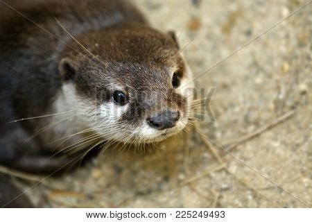 The Asian Small-clawed Otter Also Known As The Oriental Small-clawed Otter Or Simply Small-clawed Ot