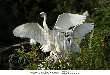little white egret (egretta garzetta) on the bush