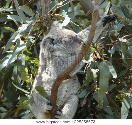 A koala resting on a branch surrounded by gum (eucalyptus) leaves. He is stretching out reaching for some leaves.