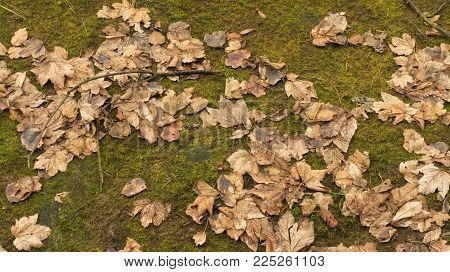 Dry Leaves On Green Moss, Fresh Green Moss Background. Winter