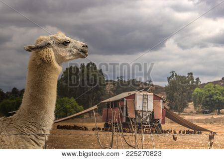 white llama, alpaca guarding pastured poultry on chicken egg farm