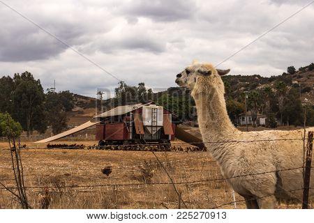 white llama alpaca guarding pastured poultry on chicken egg farm