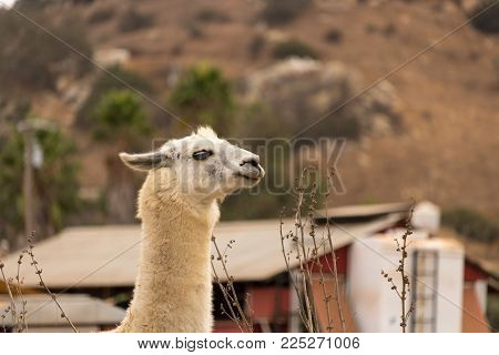 White llama alpaca, ears back profile, a brave animal pet guarding a farm, wool production