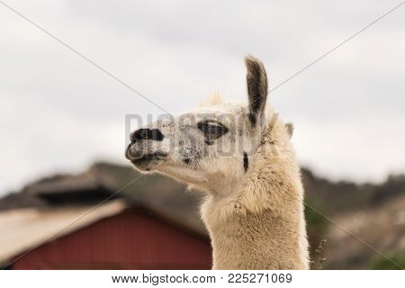 Alert head shot of white llama, ears up, profile view, close up, alpaca for wool production