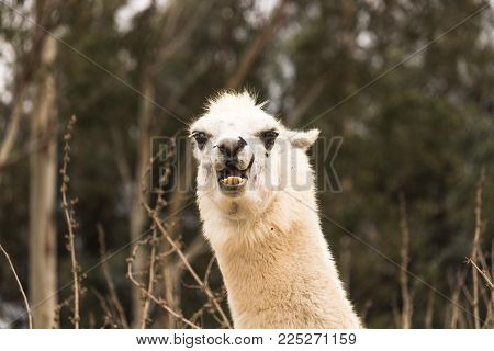 Angry humorous llama showing teeth, aggressive alpaca, evil with ears back, protective and threatening animal