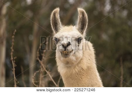 Humorous llama showing teeth, aggressive alpaca, angry evil smile with ears back close up head shot