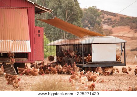 Free range chickens, happy hens laying organic brown eggs on sustainable farm using chicken tractors