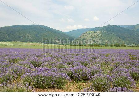The lavender field and Balkan mountains near the Kazanlak in Stara Zagora province