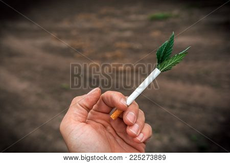 Bush Marijuana On Blurred  Background. Bush Cannabis.