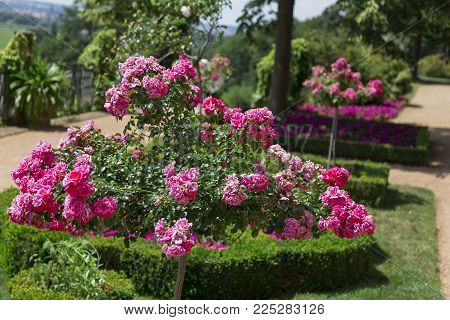 Wild pink fresh beautiful old bushes of roses in green garden of an old castle on a hill with a lanscape panoramic view on horizon on daylight in sunny summer day.