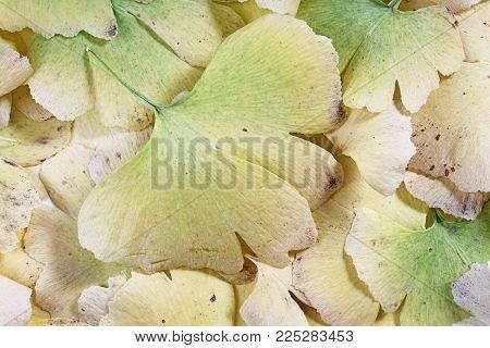 Gingko biloba closeup pattern texture as background. Macro photo.