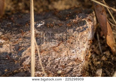 A Closeup Of Fire Ants On A Dead Log