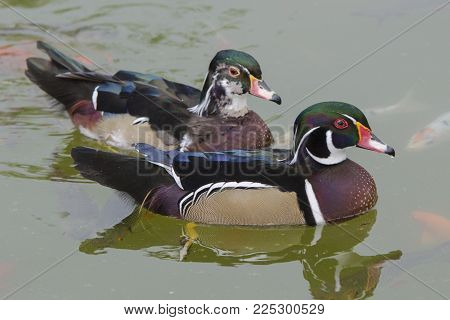 Two Mandarin Duck Or Perching Duck.