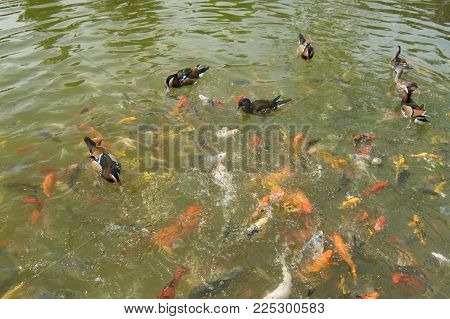 Colorful Mandarin Duck Play With Koi Fish In The Lake,