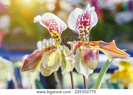 Orchid flower in orchid garden at winter or spring day for postcard beauty and agriculture idea concept design. Paphiopedilum orchid or Lady's Slipper orchid.