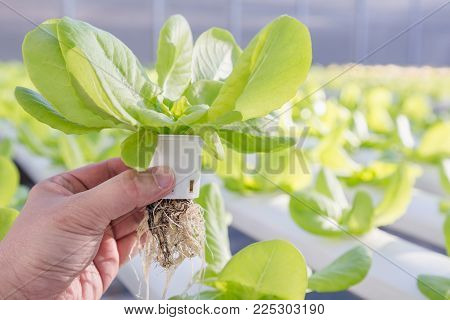 Hydroponics greenhouse. Organic green vegetables salad in hydroponics farm for health, food and agriculture concept design. Hydroponics is a non soil plant.