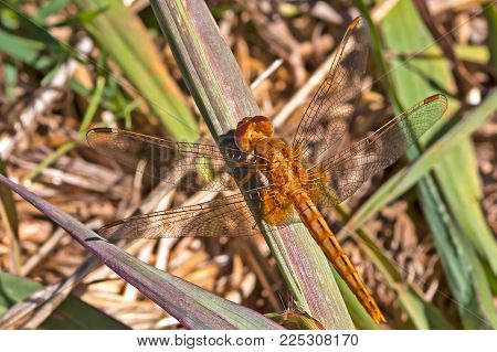Wandering Glider Dragonfly with Translucent Wings Sitting on Grass