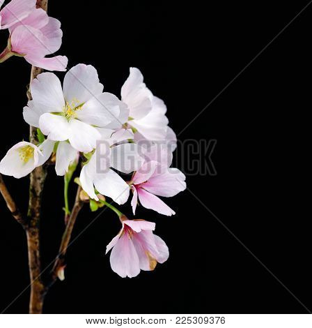 Pink cherry flowers on a black background .