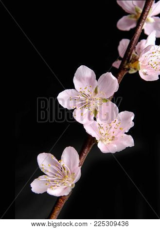Blooming branch tree in spring isolated on black background