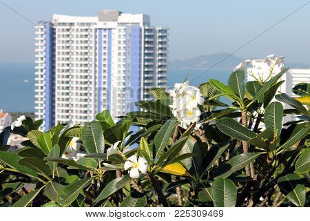 white flowers grow on a tree plumeria frangipani green leaf in the foreground exotic travel.