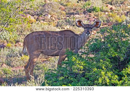 Kudu Cow with Big Ears Standing In Shade and Alert