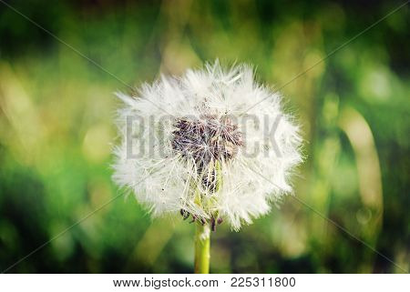 field dandelion bloomed in the meadow, fly away the wind carries seeds