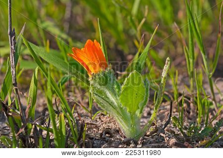 Orange Daisy Wildflower About to Open in Spring