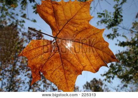 Sunlight Throu A Falling Leaf