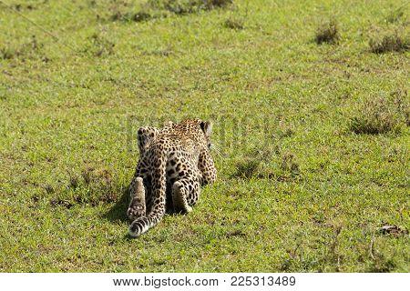a leopard crawls along the grasslands of the Maasai Mara, Kenya