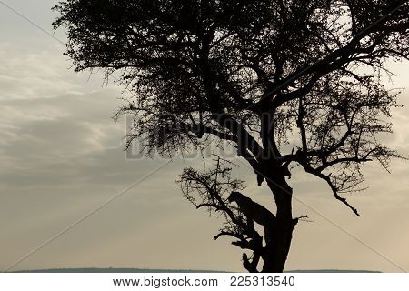 silhouette of a leopard in a tree on the grasslands of the Maasai Mara, Kenya