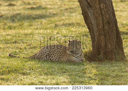 a leopard at the base of a tree on the grasslands of the Maasai Mara, Kenya