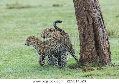 a leopard and her cub at the base of a tree on the grasslands of the Maasai Mara, Kenya